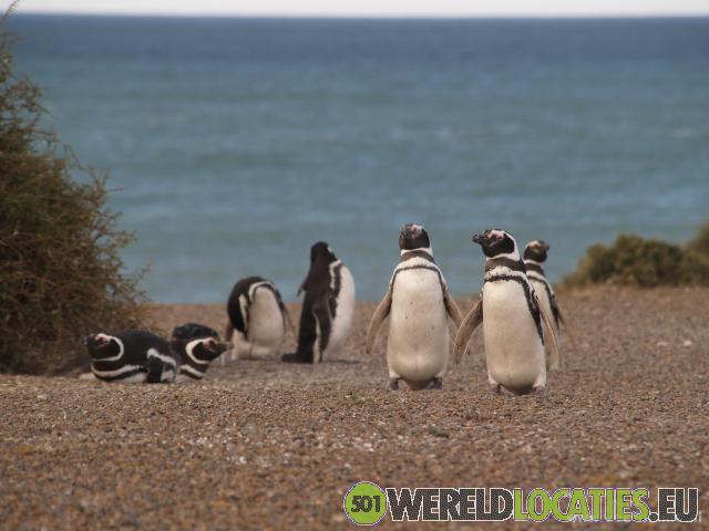 Pinguïns op Peninsula Valdes