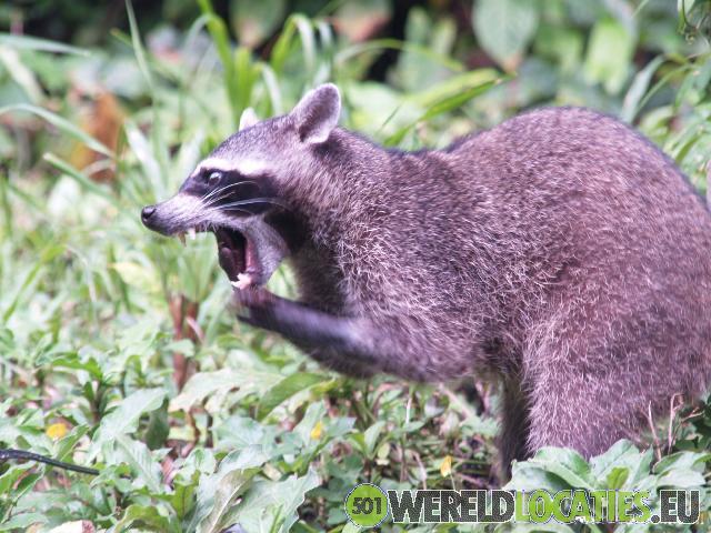 Costa Rica - Wasberen in Manuel Antonio