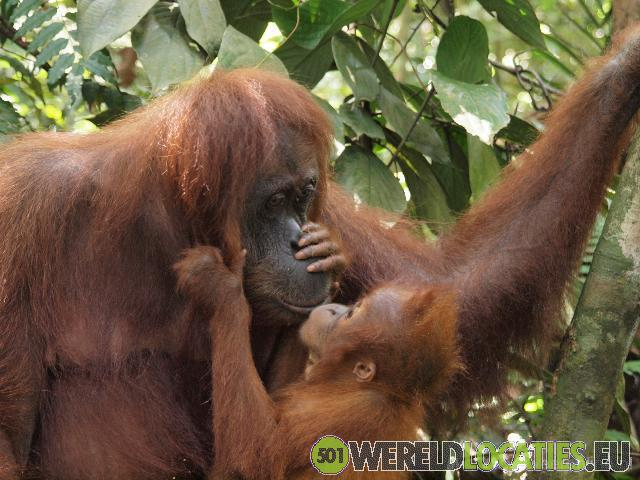 Indonesië - Oog in oog met Orang Oetans