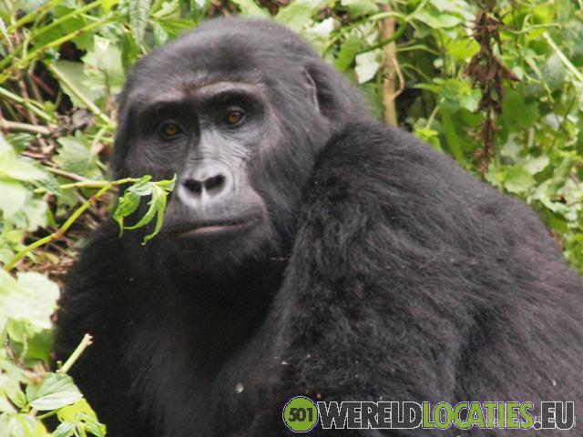 Rwanda - Gorilla Tracking in Bwindi